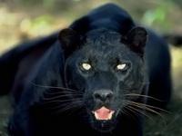 Pantera neagra