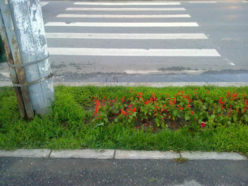 Trecere de pietoni si flori